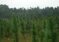 A unique longleaf pine forest