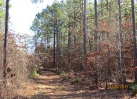 Beautiful & Unique Longleaf Pine Forest
