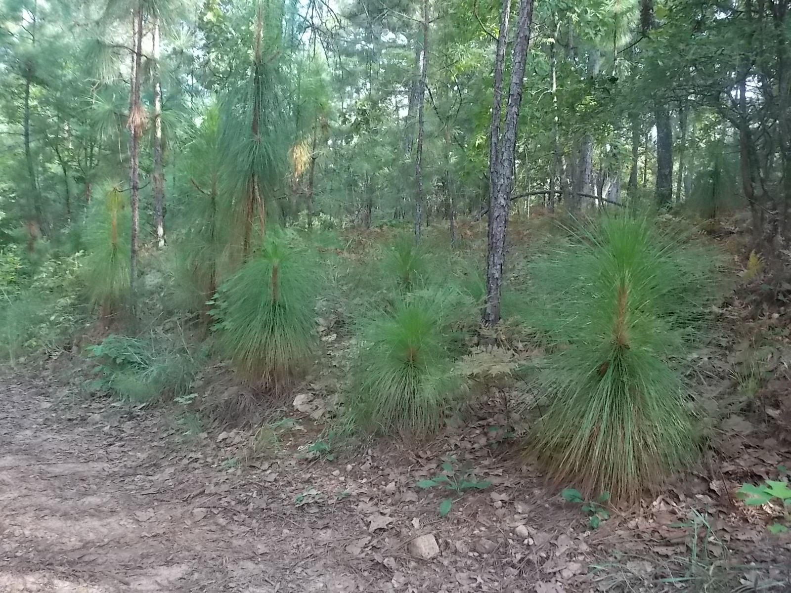 A young stand of volunteer longleaf pine