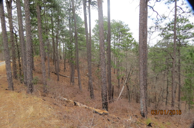 A mature longleaf pine forest