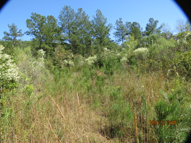There are about 70 acres of bottomland that have been clear cut. Notice the pines coming back in