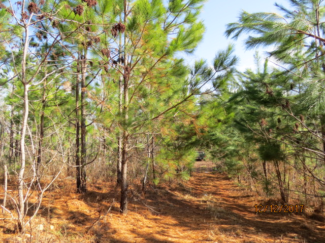 Volunteer loblolly pines in a longleaf pine stand planted about 8 years ago