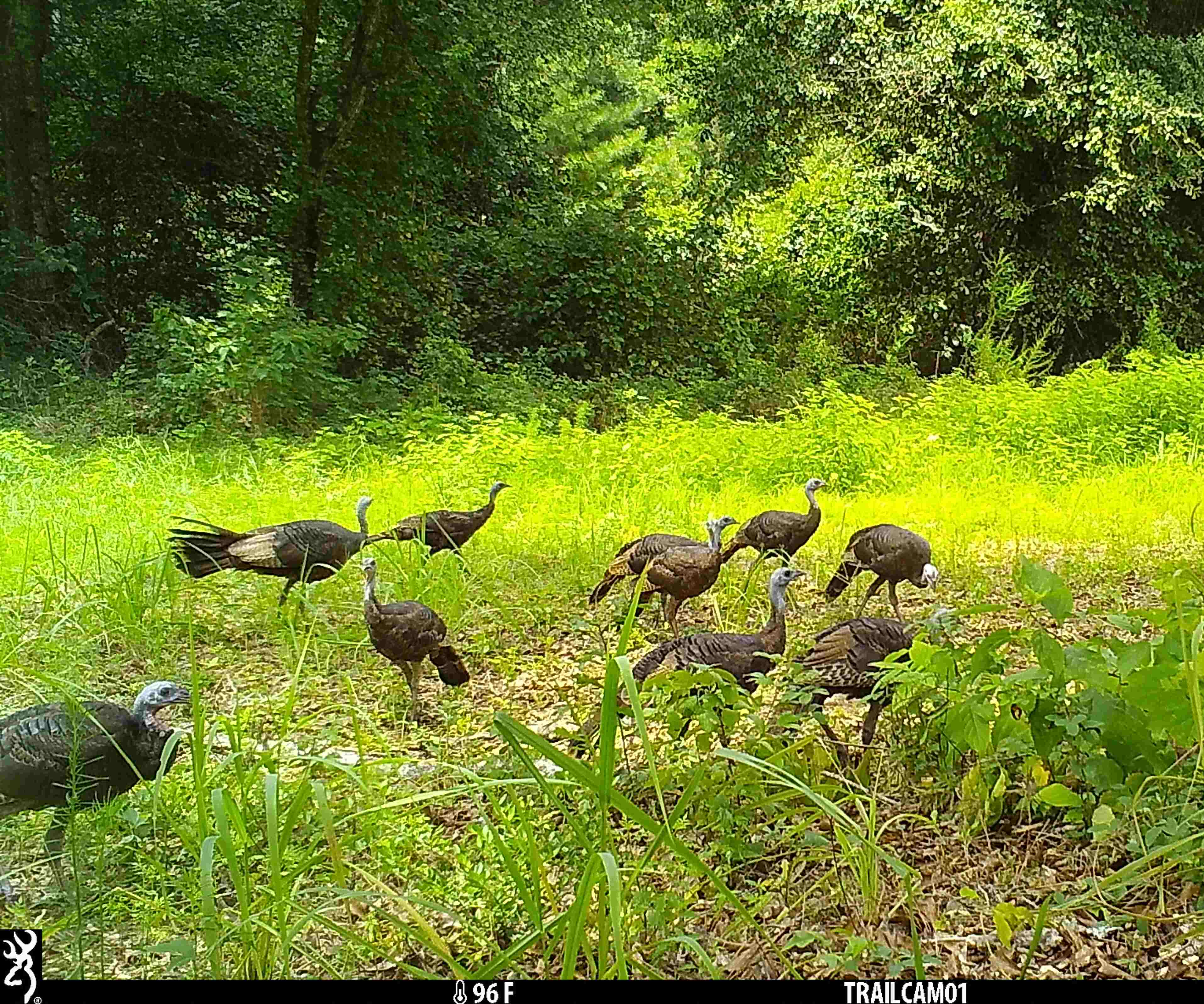 Game camera showing a flock of hen turkeys