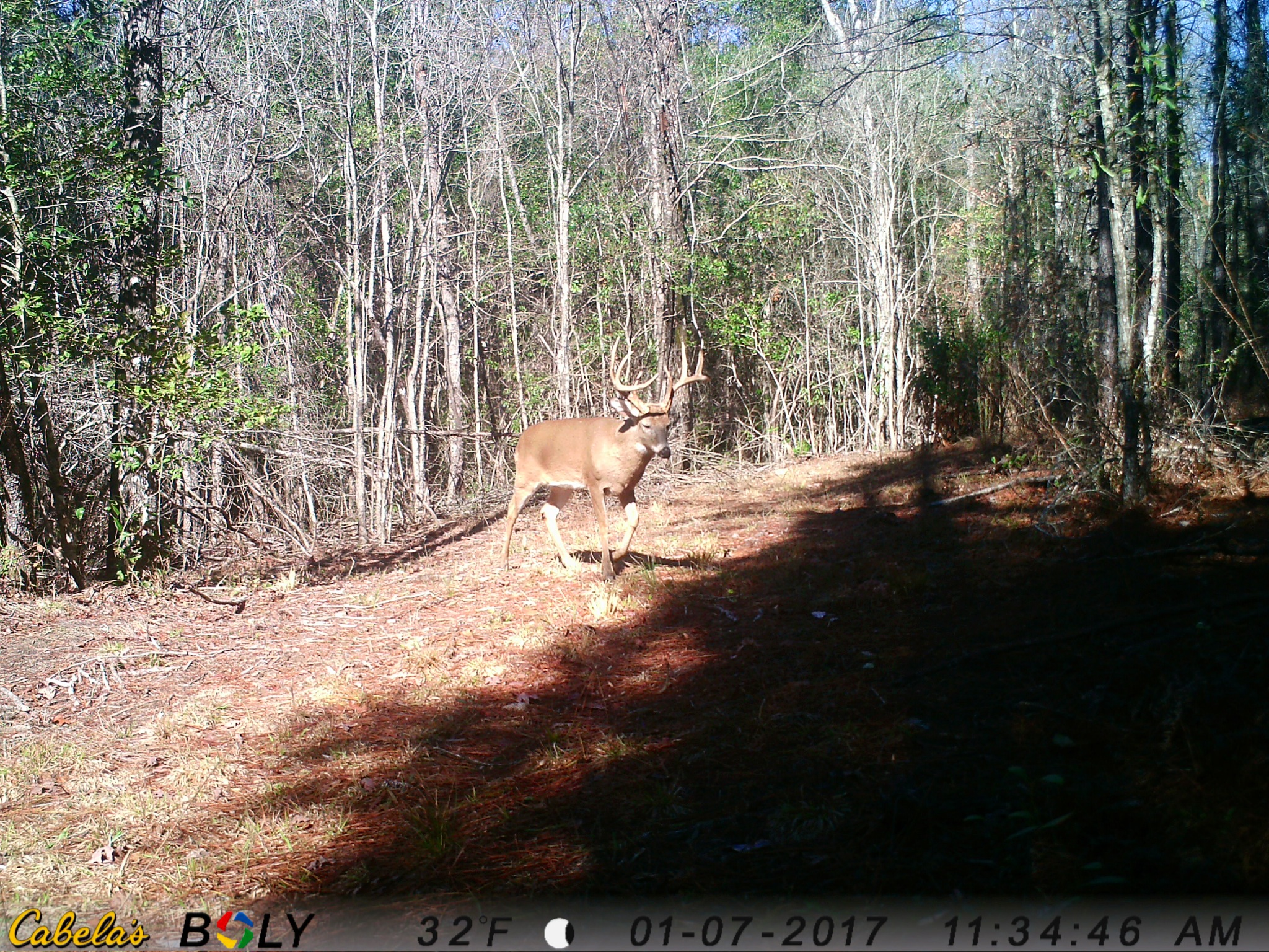 Another deer from a game camera