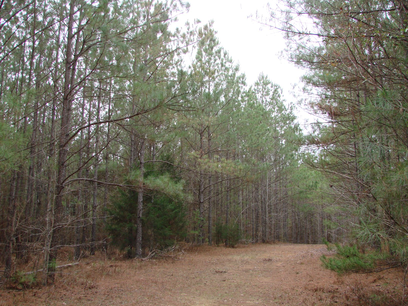 Immediate income opportunity.  Pine plantation ready to thin