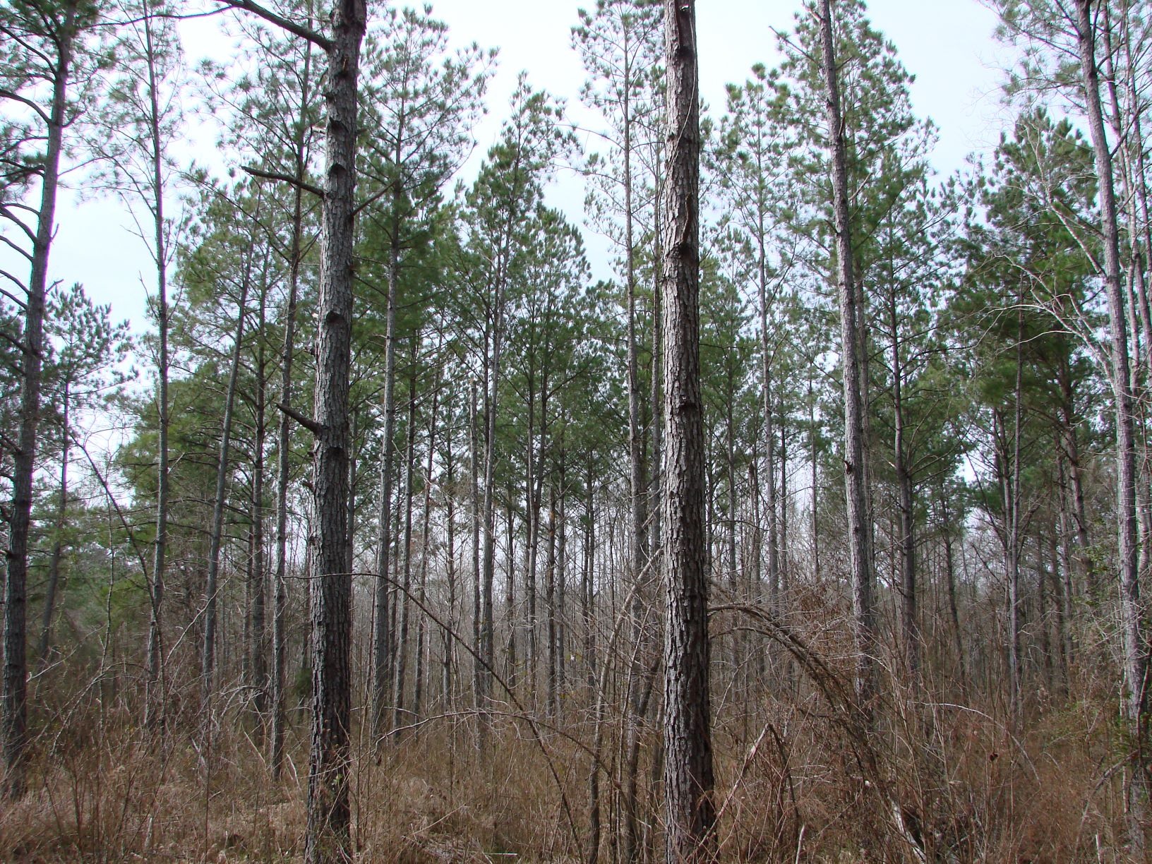 Growing big fast & making money!  A recently thinned loblolly pine stand