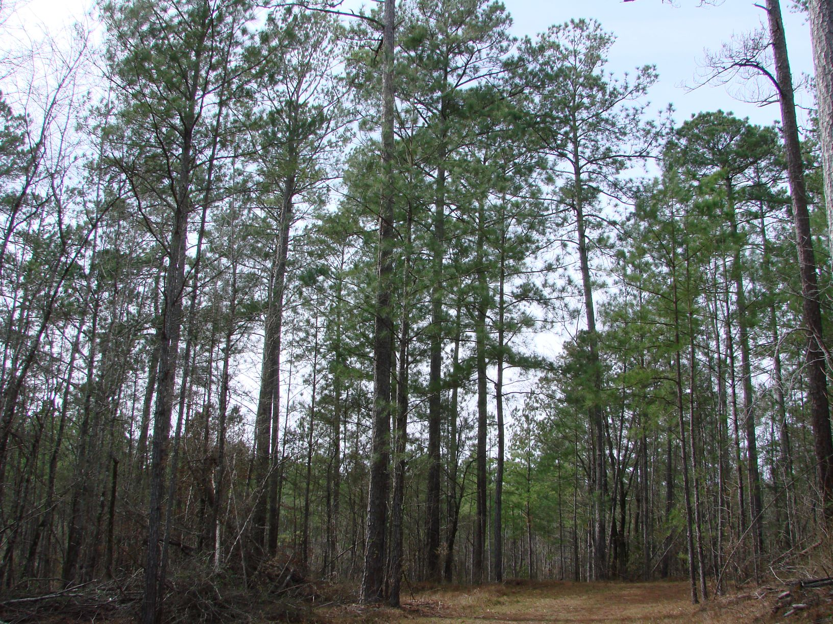 Significant timber value on the property.  Mature loblolly pine plantation