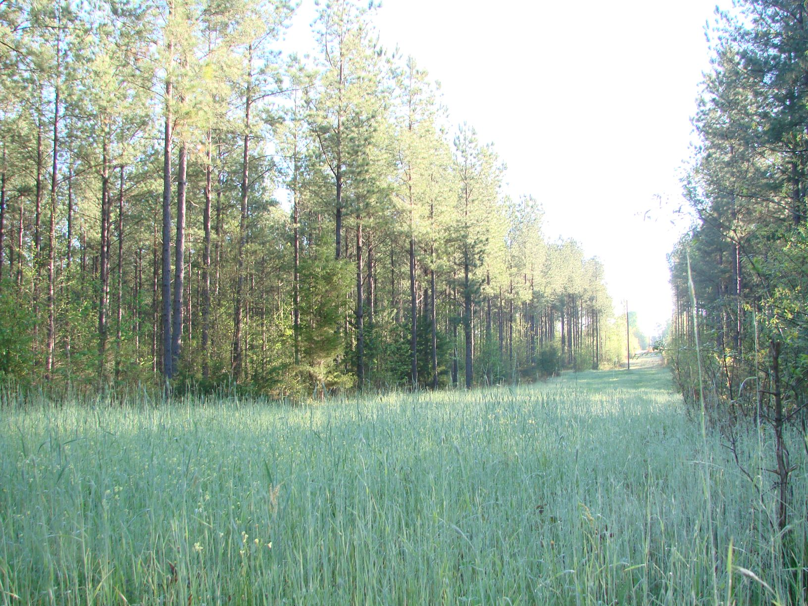 A view of the 500-foot long food plot and planted pines