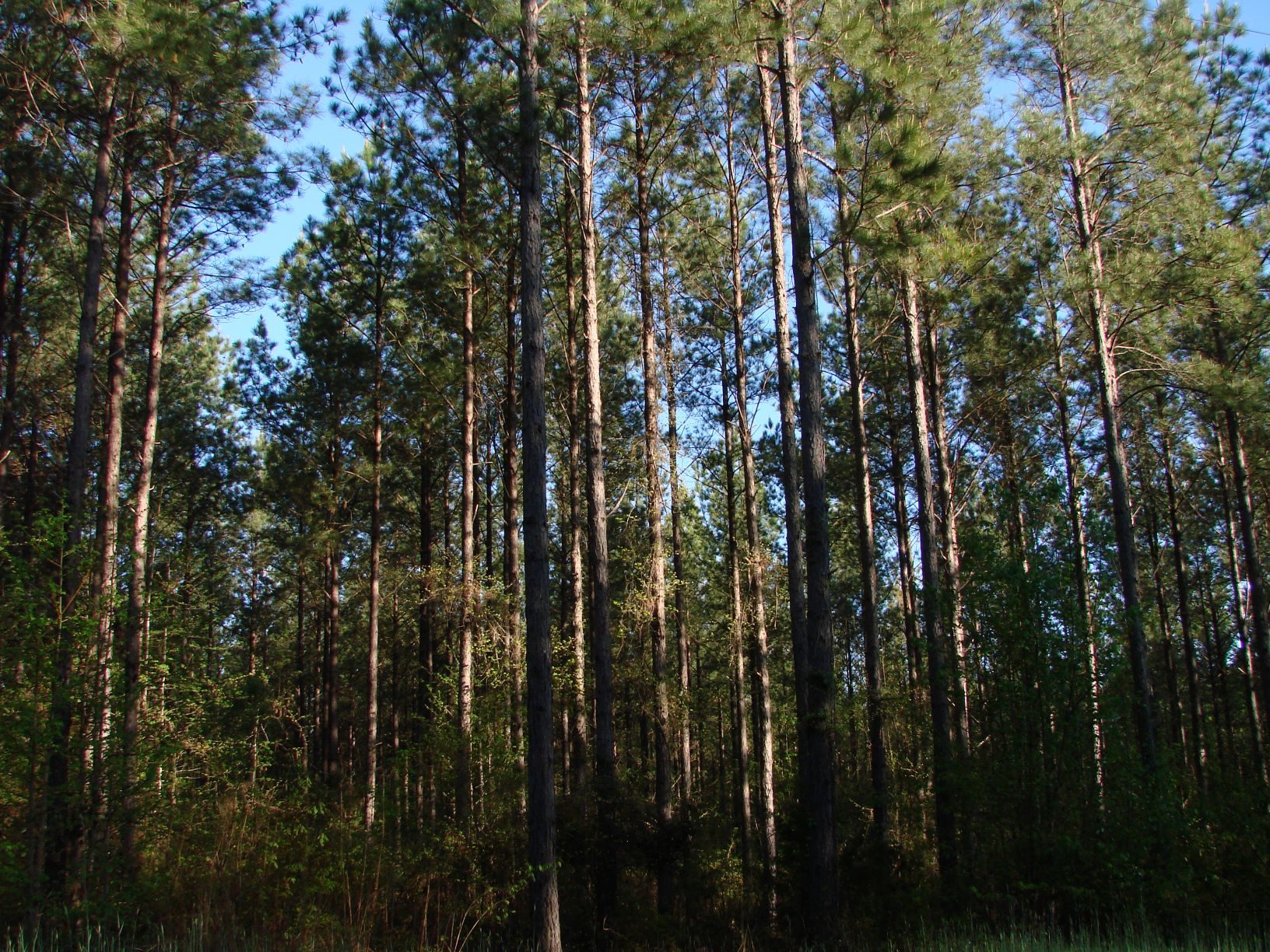 These pines have substantial value - call for timber appraisal