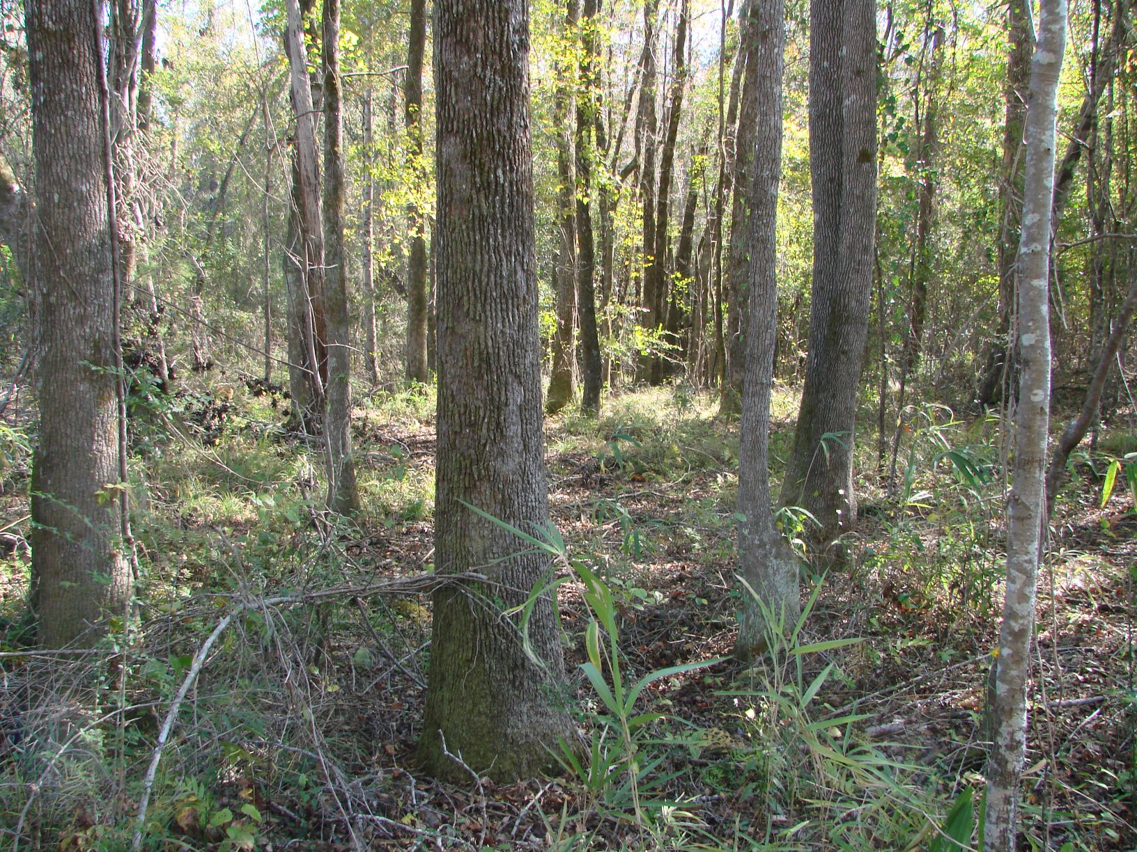 There are 63 acres of mature hardwood timber like this along Ailey Branch & other areas