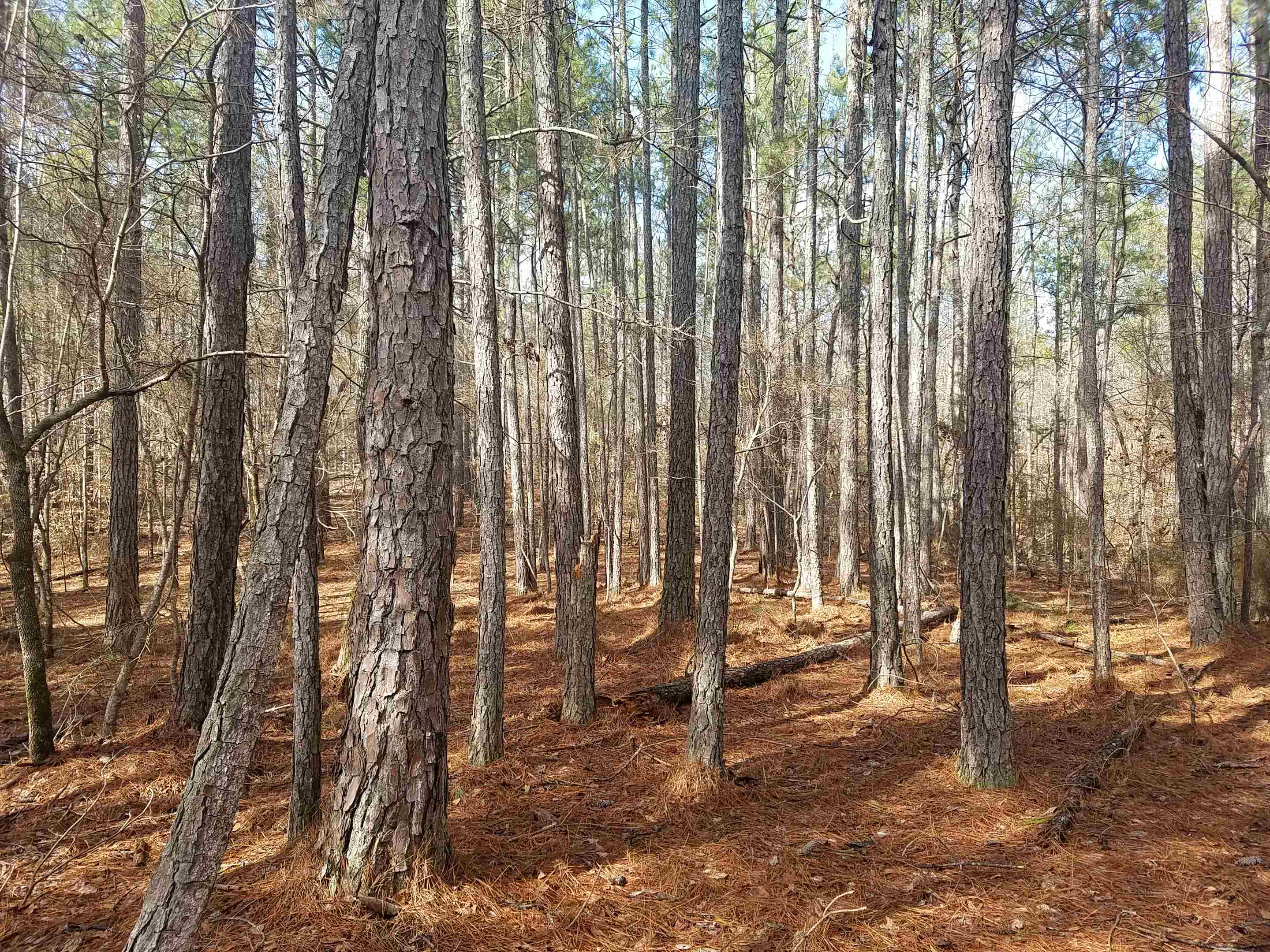 A view of some of the pine stands.  There is significant timber value - call for appraisal