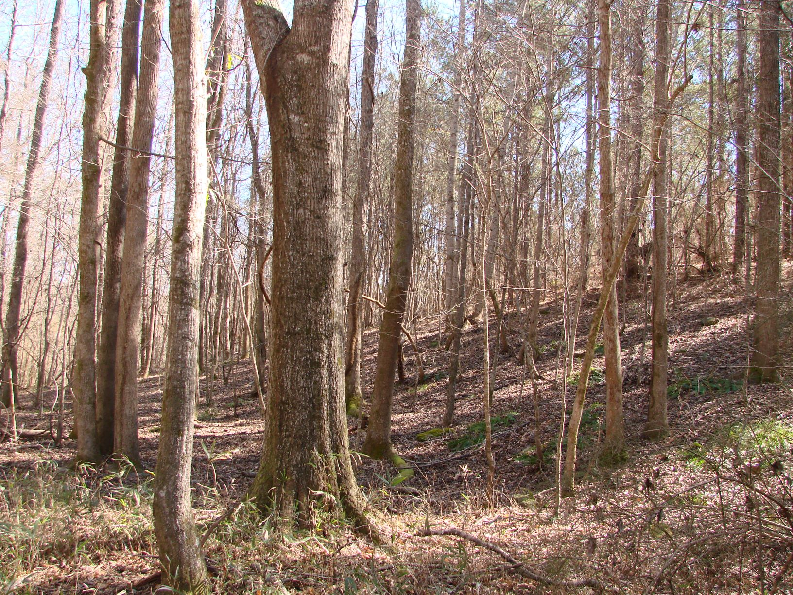 Bottomland hardwood timber